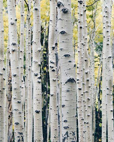 Senior Recreation Activities grow like a A Grove of Silver Birch Trees